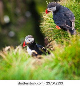 Beautiful Summer Picture of Icelandic Horned Puffin In Iceland, Latrabjarg cape