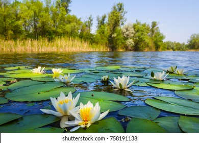beautiful summer river with lilies