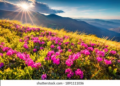 Beautiful summer scenery. Blooming pink rhododendron flowers on Chornogora range. Dramatic summer view of Carpathian mountains with highest peak Hoverla on background, Ukraine.