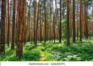 Beautiful summer sunny landscape in pine forest with tall slender trunks of coniferous trees, fresh pure air and green ferns on the ground. Majestic nature of Altai mountains, Russia