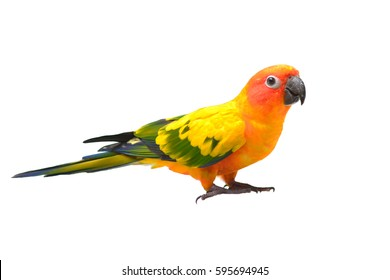 Beautiful Sun Conure parrot bird isolated on white background