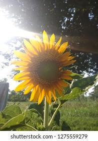 Beautiful Sun Flower Wallpepar