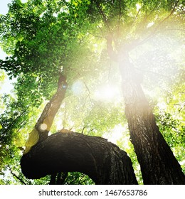 Beautiful sun light through trees in forest looking upwards