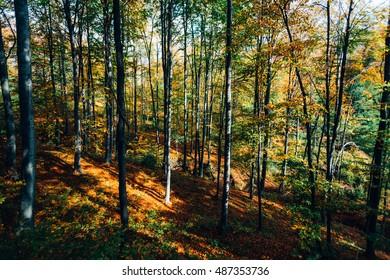 Beautiful sun lighted autumn forest