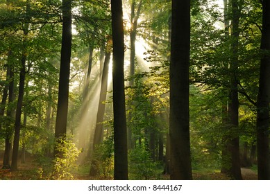 Beautiful sunbeams in the forest at morning.