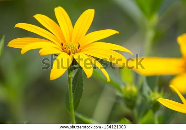 Beautiful Sunchoke or Jerusalem artichoke flower