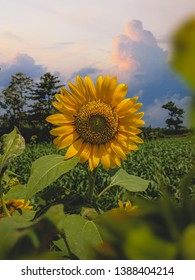 Beautiful sunflower in the afternoon