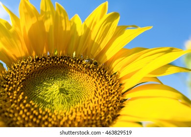 Beautiful sunflower and bee