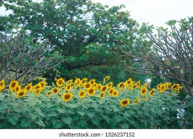 beautiful sunflower blooming in field