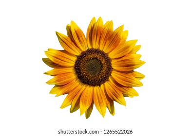 Beautiful sunflower blossom isolated on white textured background