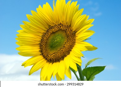 beautiful sunflower and blue sky with clouds / Sunflower