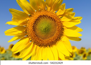 Beautiful Sunflower close up with blue sky