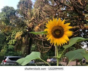 Beautiful sunflower close up view