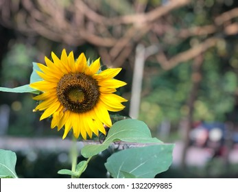 Beautiful sunflower close up view with blir background.