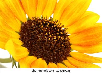 beautiful sunflower close-up