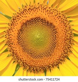 Beautiful sunflower closeup
