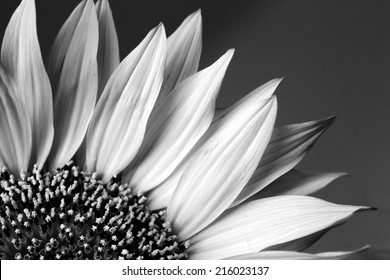 42367 Sunflower Black And Sunflower Black And White Images