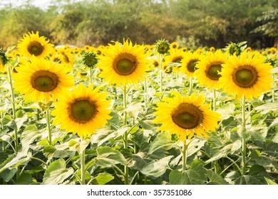 Beautiful sunflower in farm