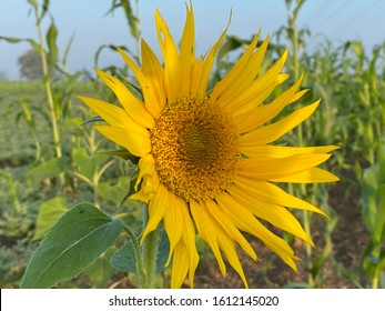A beautiful sunflower in the farm. And sunflower facing the sun.