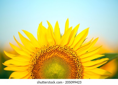 Beautiful sunflower in field
