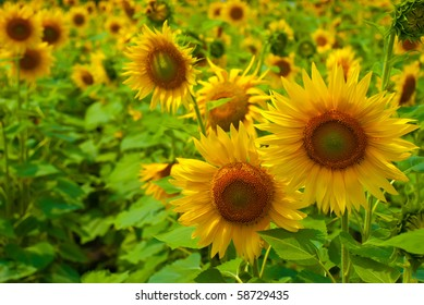 beautiful sunflower in a field