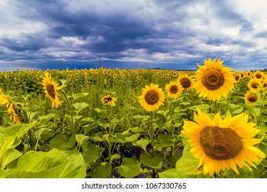 Beautiful sunflower field with cloudy stormy sky.