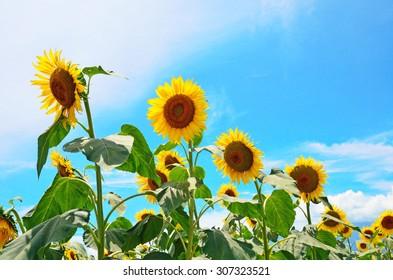 beautiful sunflower in a field, Hokuto, Yamanashi, Japan