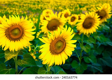 Beautiful sunflower in the field, Thailand.