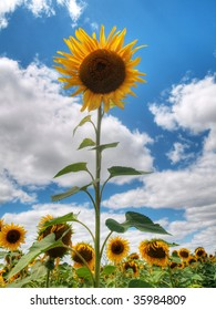 beautiful sunflower field under blue sky and clouds hdr processed