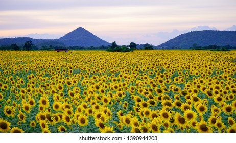 Beautiful sunflower field view background