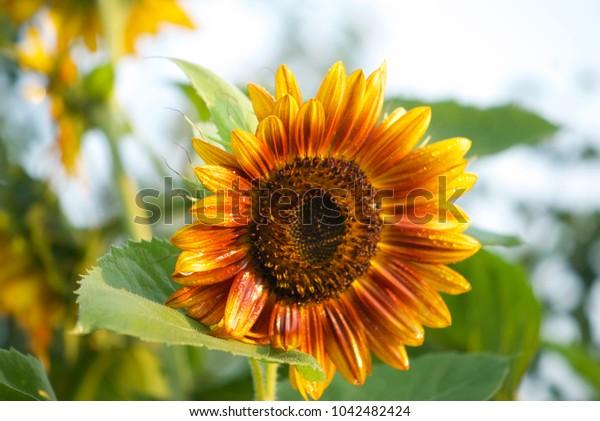 beautiful sunflower flower in drops of dew