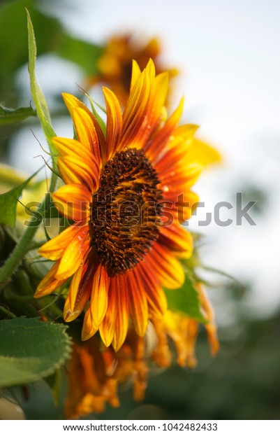 beautiful sunflower flower in drops of dew