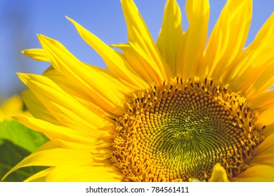 Beautiful sunflower flower on the sky background