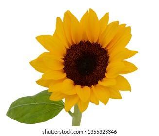 beautiful sunflower isolated on white background