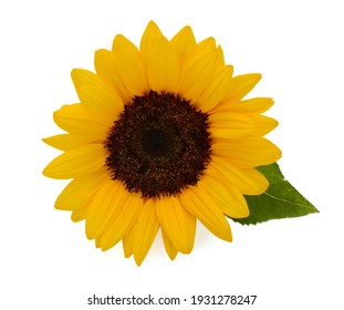 beautiful sunflower isolated on white background