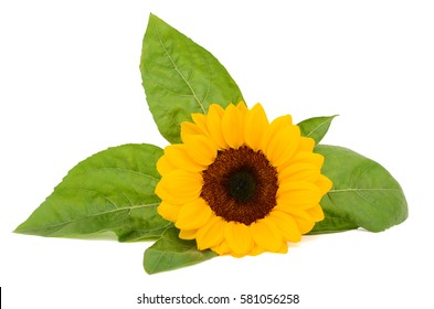 beautiful sunflower with leaves isolated on white background
