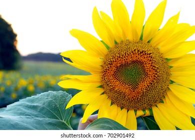 Beautiful sunflower on a sunflower field