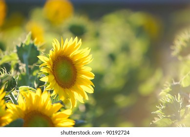 beautiful sunflower on the field at sunny day