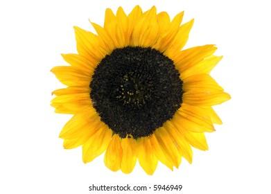 beautiful  Sunflower over white