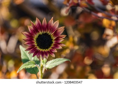 beautiful sunflower in the park