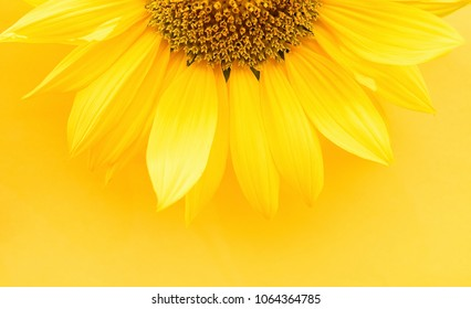 Beautiful sunflower petals on yellow background / sunflower petals close-up