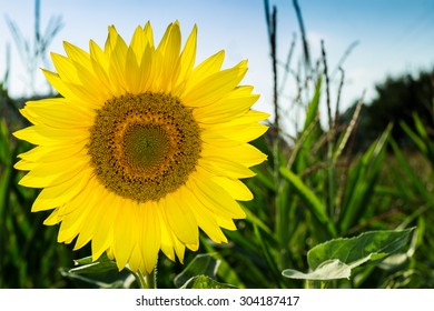 beautiful sunflower in a sunny summer field