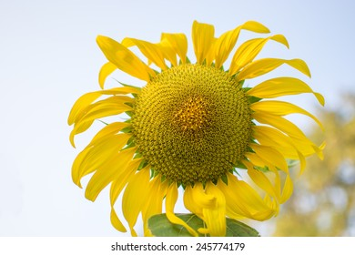 the beautiful sunflower in winter morning