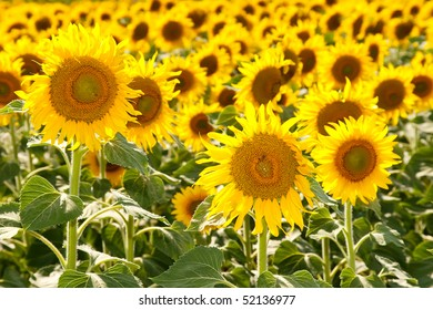 Beautiful sunflowers blooming in the field during summer season