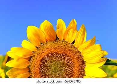 Beautiful sunflowers in a bouquet in the background of a clear sky. Nature, yellow flowers. Macro