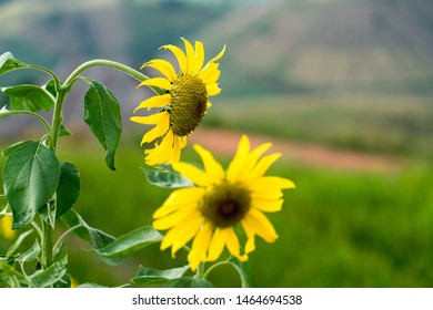 Beautiful sunflowers, bright day in a field, selective focus