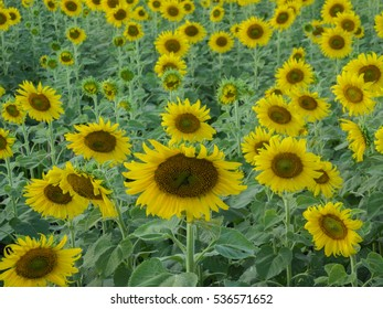 beautiful sunflowers field in sunny day in Thailand