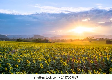 Beautiful sunflowers field with sunrise in the morning time.
