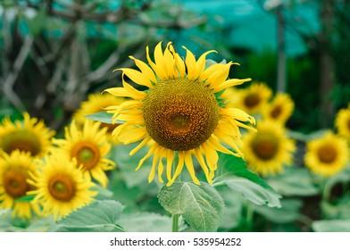 Beautiful sunflowers in the field in Thailand in winter season.