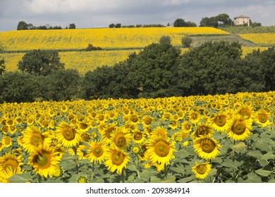 Beautiful sunflowers fields in Umbria,  Perugia countryside - Italy